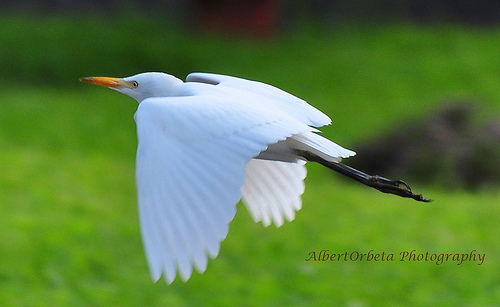 Egret Flying Low